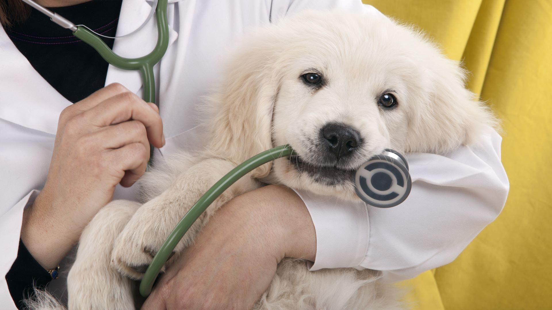 Golden retriever puppy being held by a vet with a stethoscope in his mouth.
