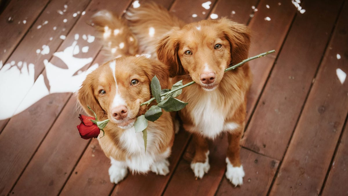 Two retrievers holding one long stem red rose in their mouths.