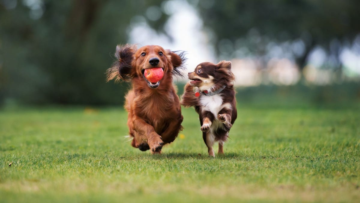 A long-haired Dachshund with a ball in its mouth running with a smaller dog at the dog park.