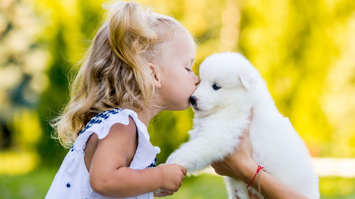 A little girl kissing a Samoyed puppy on the head.