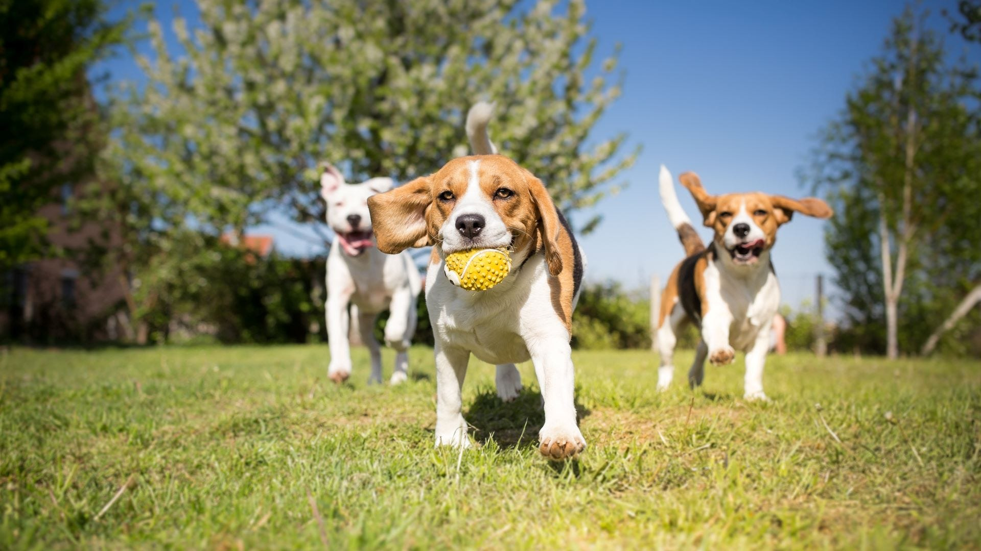 Two beagles and a pit bull playing with a ball at the dog park.