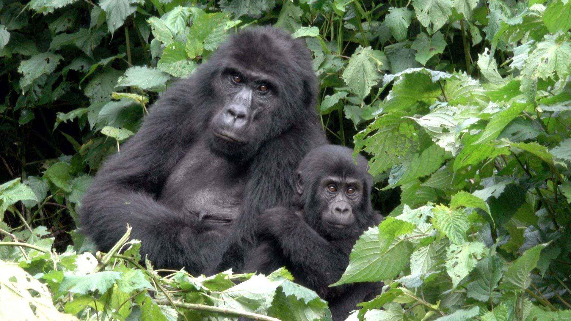 A mother and baby gorilla in the jungle.