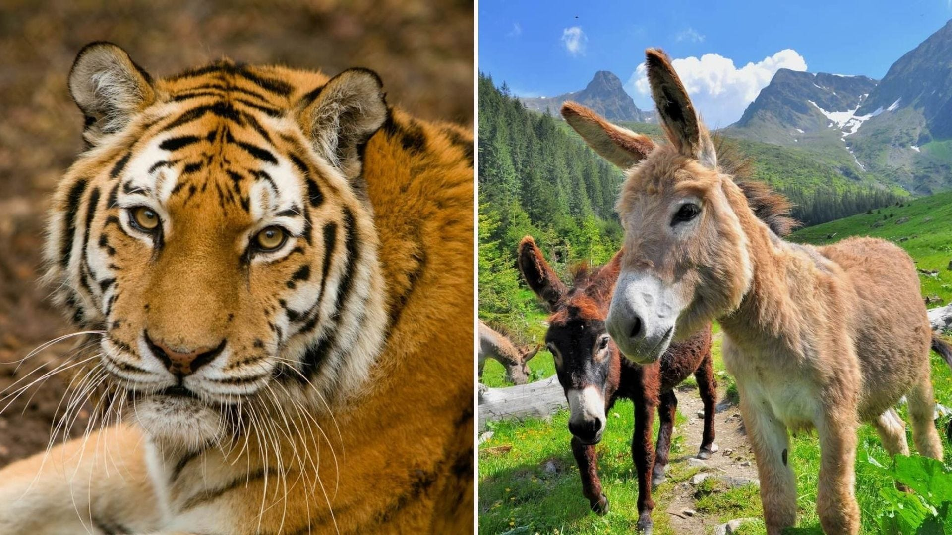 A tiger and donkeys, both of which you can symbolically adopt at the World Animal Foundation site.