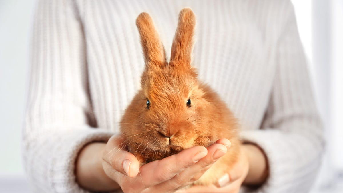 A woman holding a fluffy brownish-orange bunny in her hands.