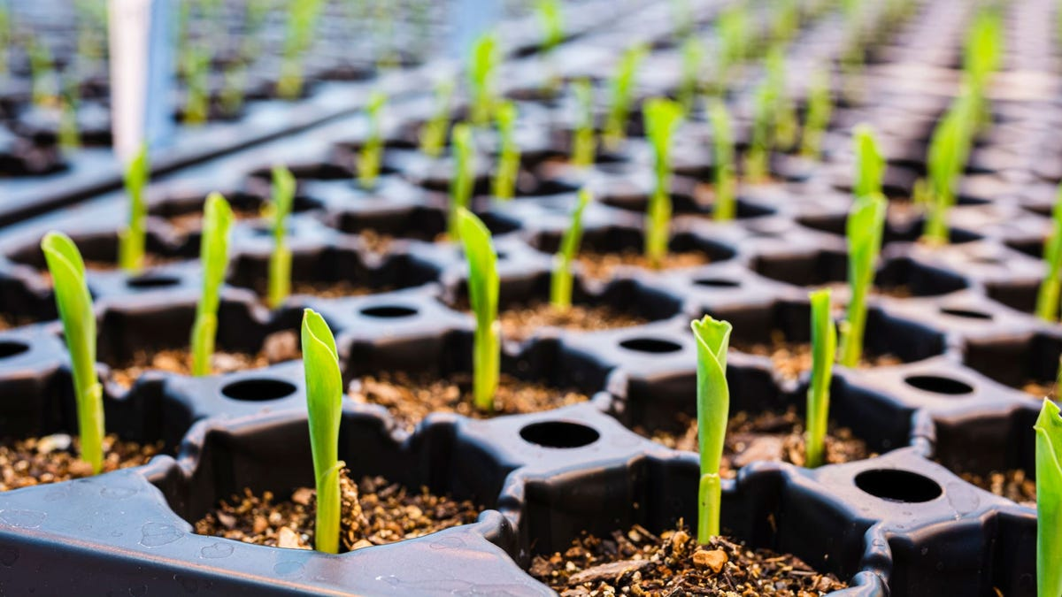 Seedlings sprouting in a vegetable garden.
