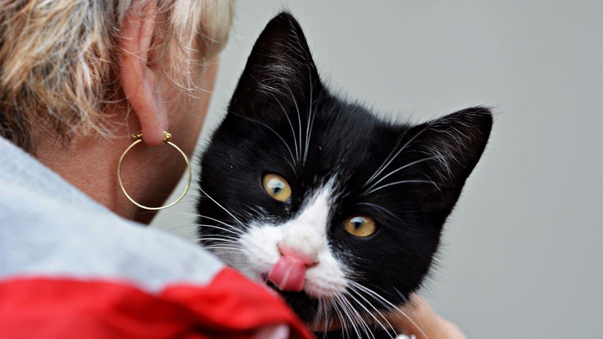 A woman holding a black and white kitten that's sticking its tongue out.
