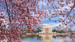 Watch the Washington, D.C., Cherry Blossoms Bloom Online