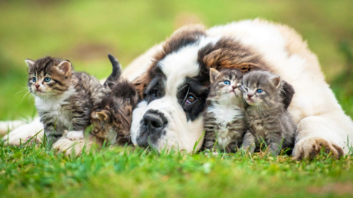 A Saint Bernard puppy surrounded by three long-haired tabby little kittens.
