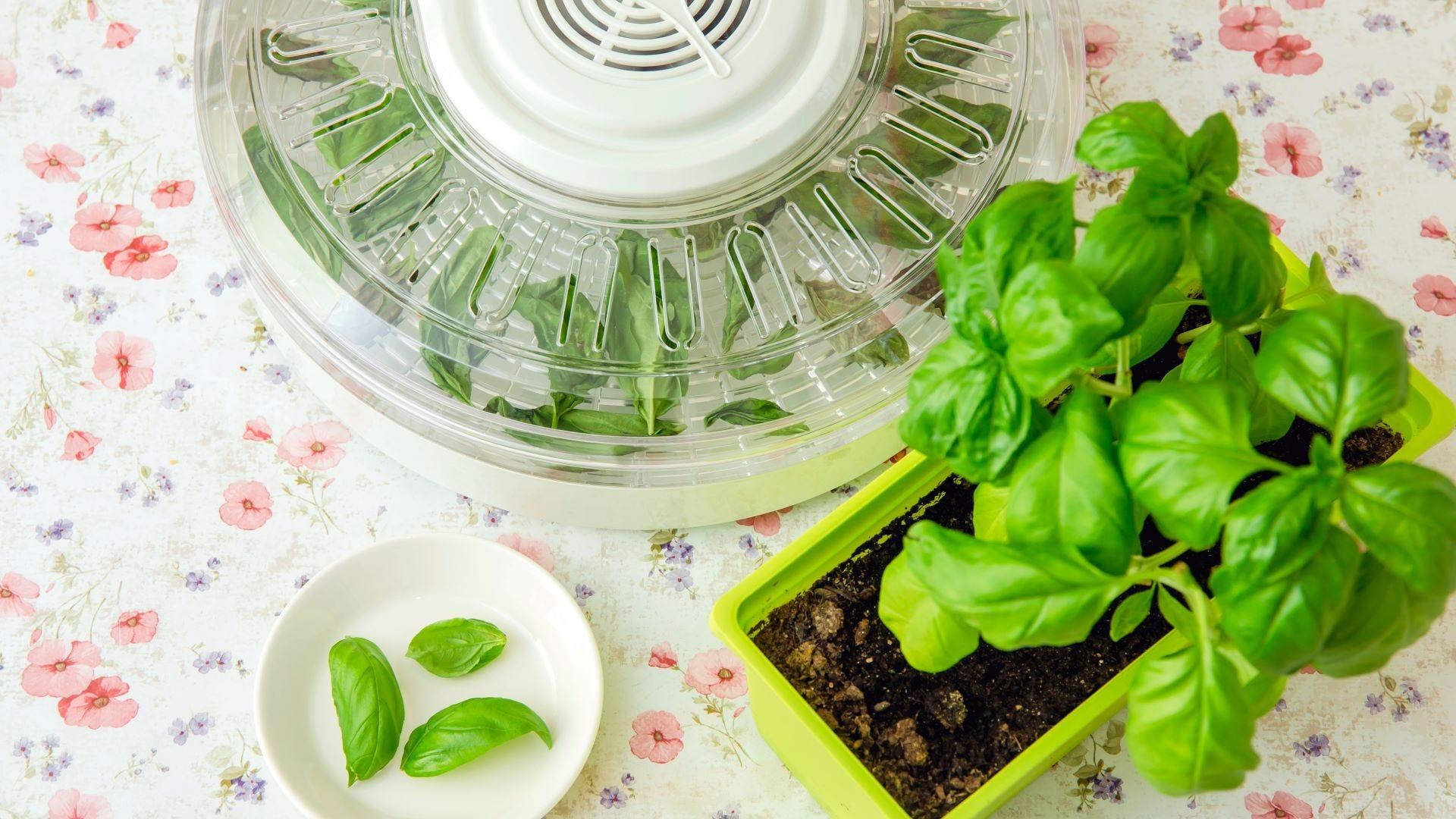 Herbs in an electrical dehydrator.