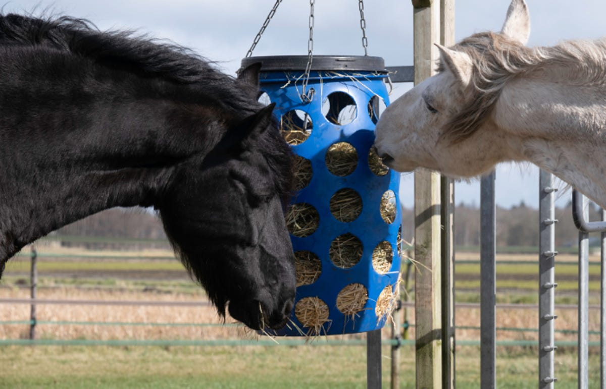 a black and a white horse eat hay from a blue plastic basket hanging feeder
