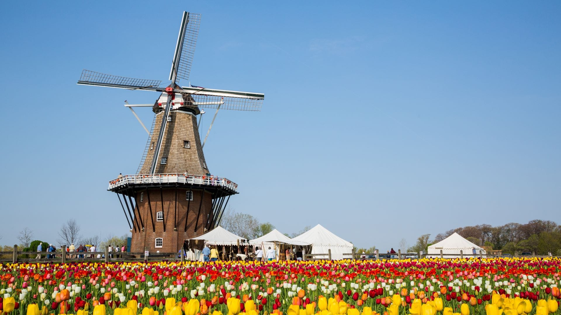 A windmill in a field of tulips in Holland, Michigan.
