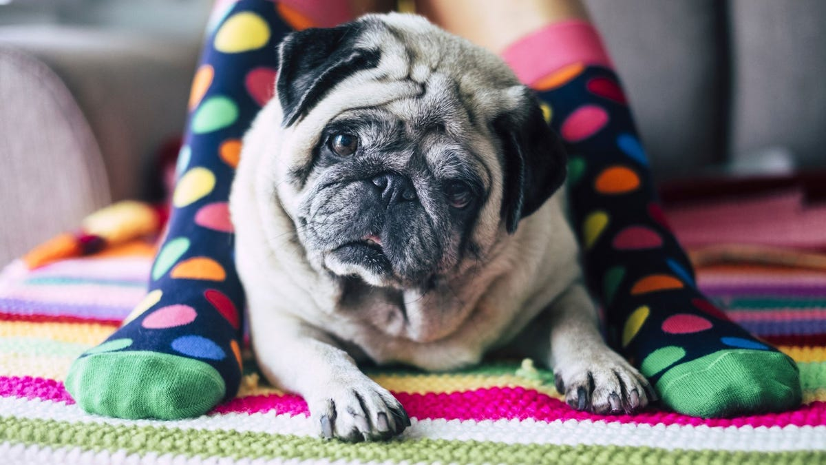 A cream-colored pug dog sitting between someone's stockinged feet.