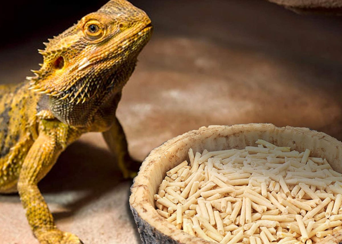 a frilled  lizard in its terrarium by its bowl of food