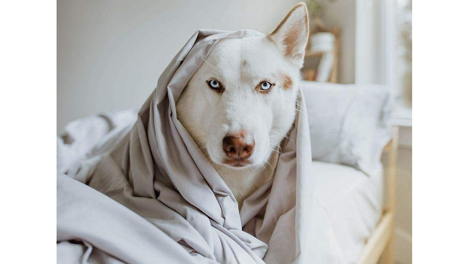 A white husky wrapped in grey sheets and laying on a bed.