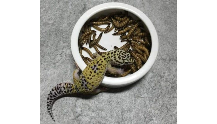 A reptile eating from a white ceramic food bowl full of mealworms