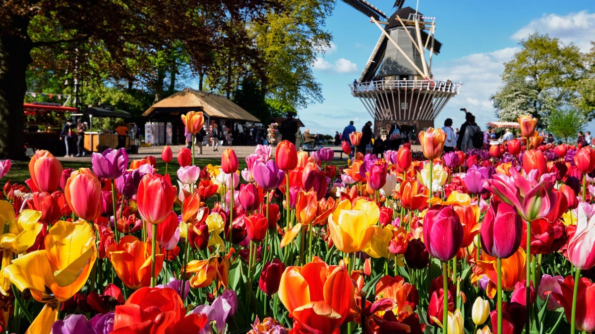 Tulips and a windmill in Keukenhof garden, the Netherlands.