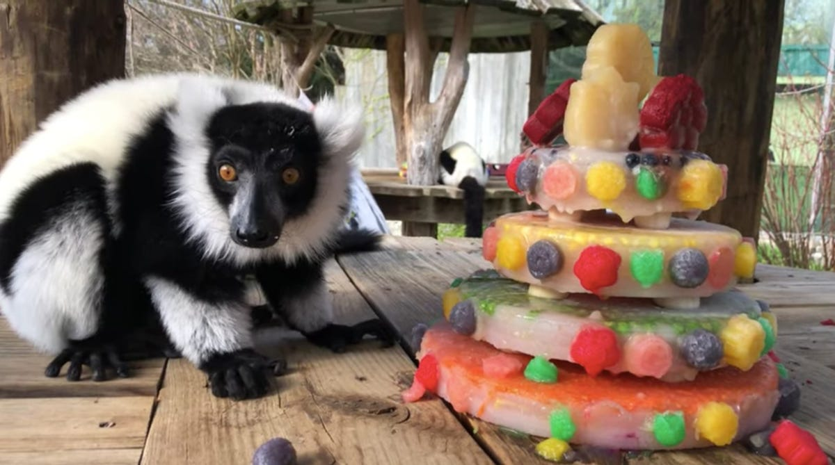 A lemur looks into the camera as it sits next to a fruitsicle cake.