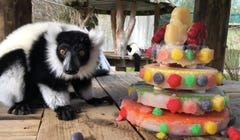 Watch the National Zoo's Lemurs Celebrate Their Birthdays