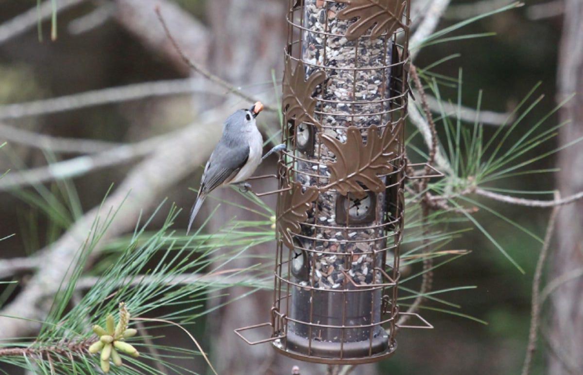 a tufted titmouse bird eating birdseed from a bird feeder outside
