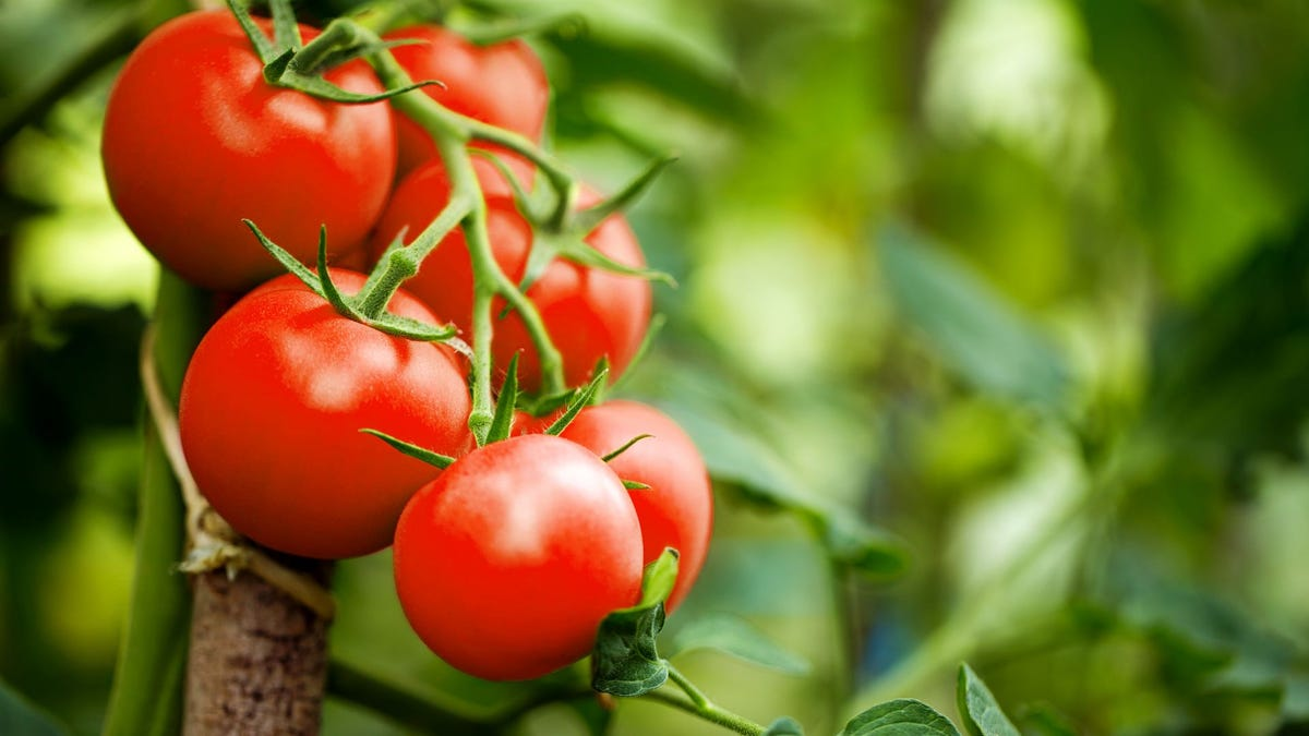 Ripe tomatoes on a vine.