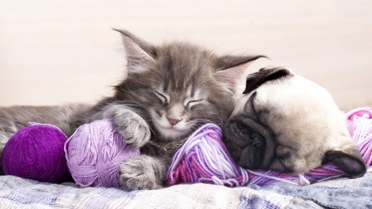 A cat and dog asleep on balls of yarn.