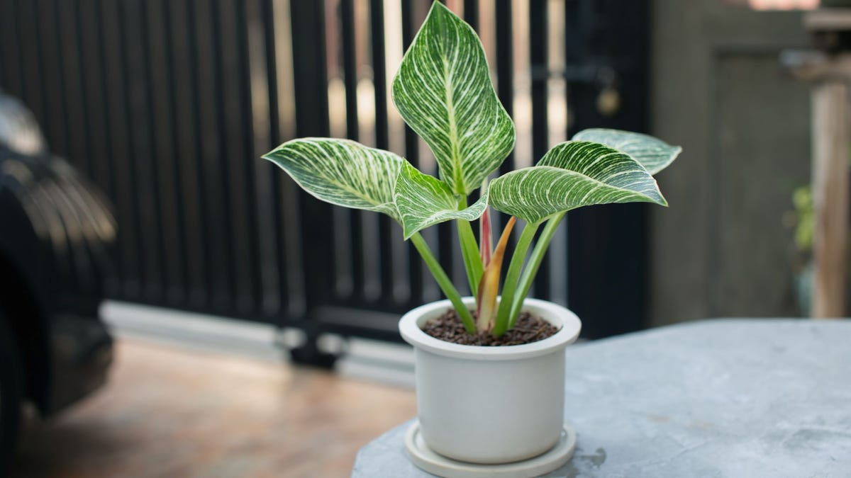 A Philodendron Birkin houseplant in a white pot sitting on a table.
