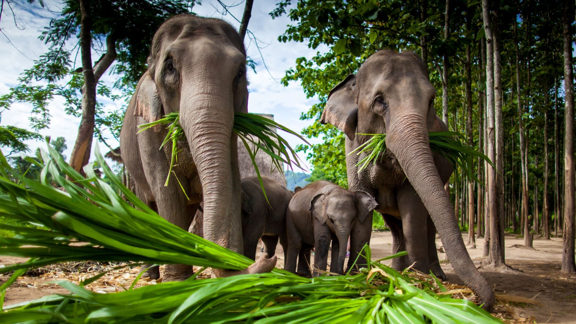 Two adult and two baby elephants eating sugarcane in Thailand.