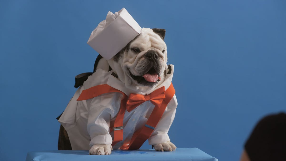 A bulldog sits on a platform in a sailor outfit.