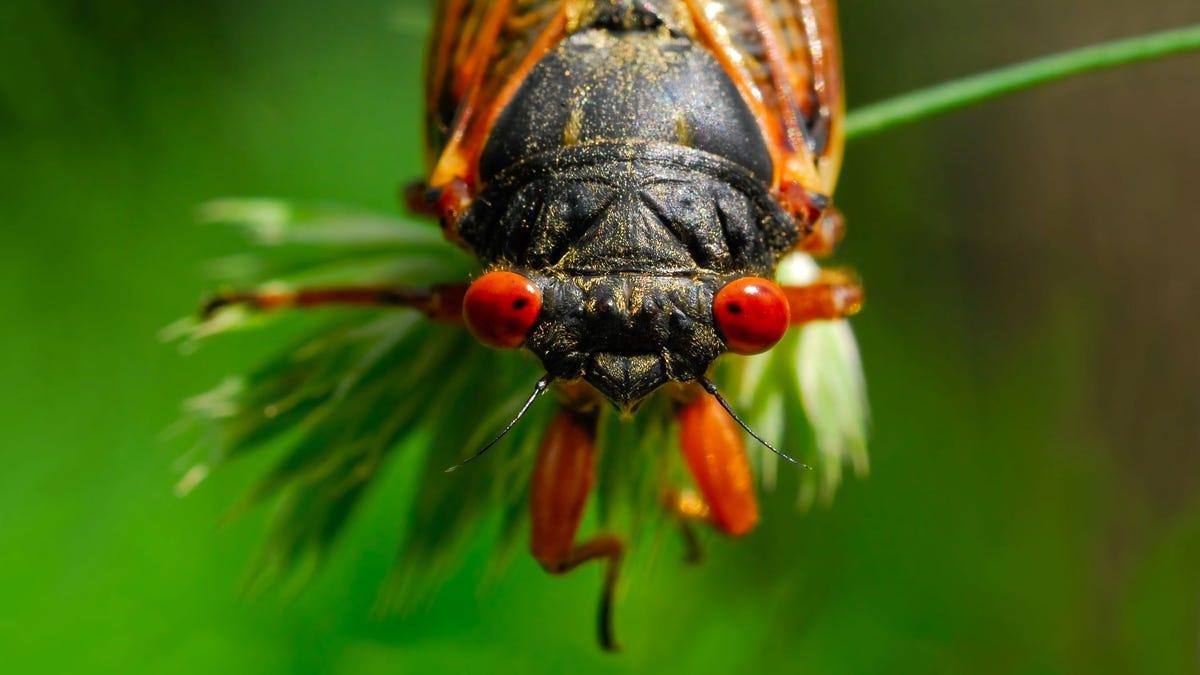 A cicada sitting on a weed.