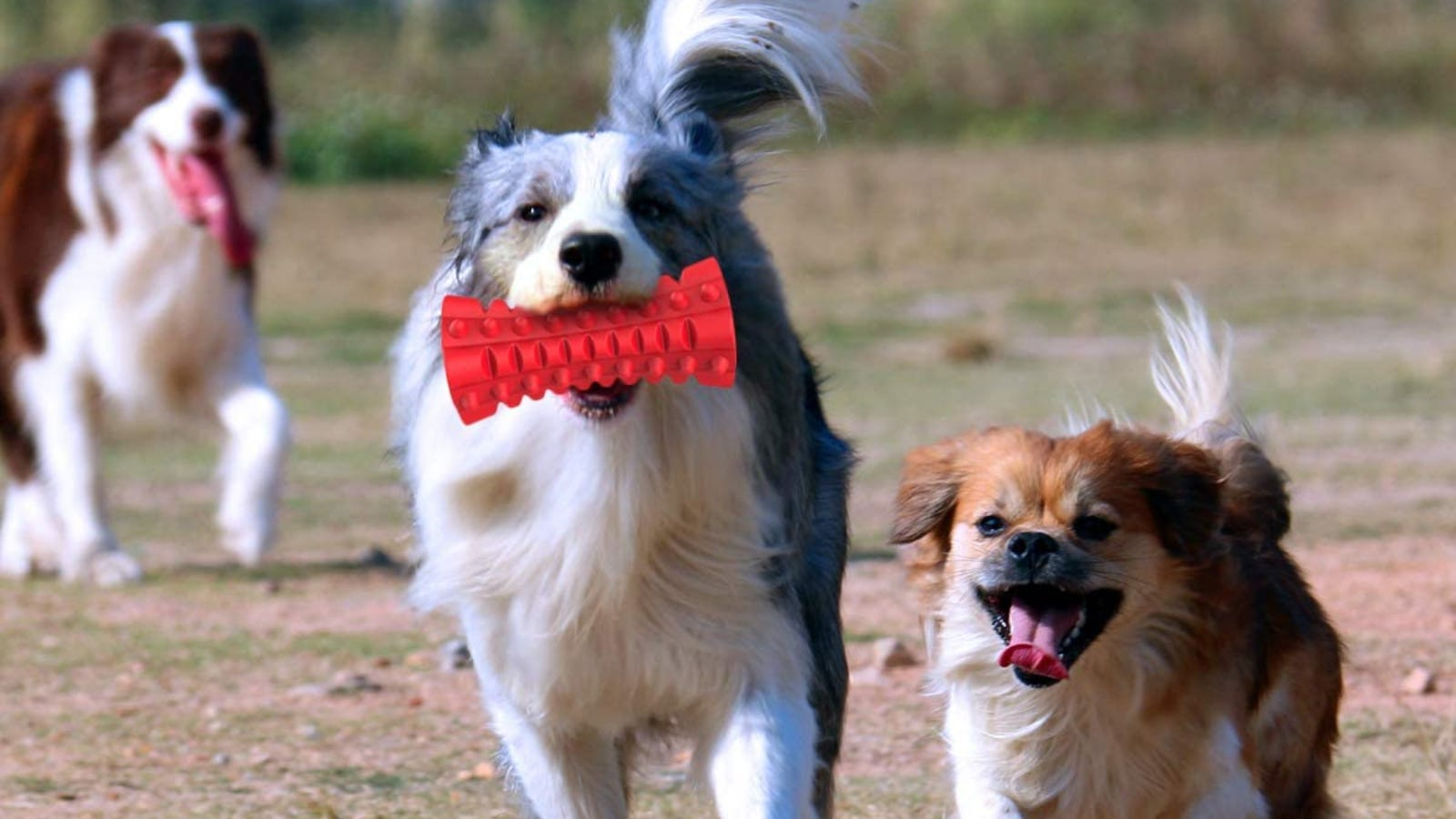 A dog holds a red chew toy in its mouth as it runs ahead of two other dogs.