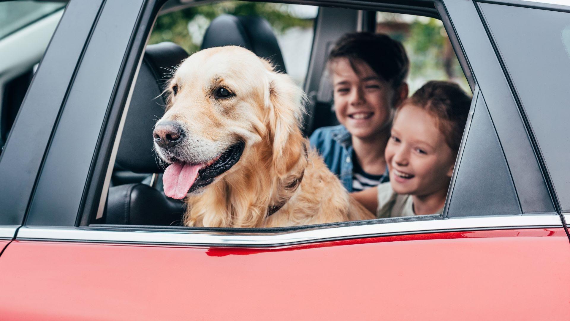 A boy, girl, and golden retriever dog in a car.