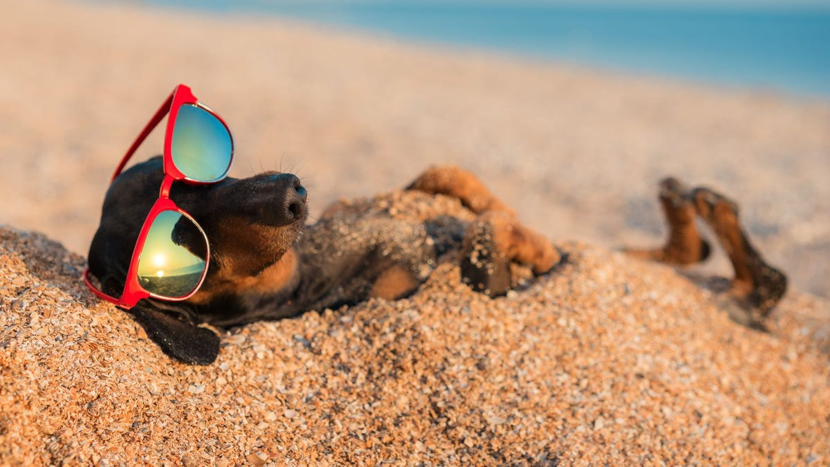 A dachshund wearing sunglasses, buried in sand on a beach.