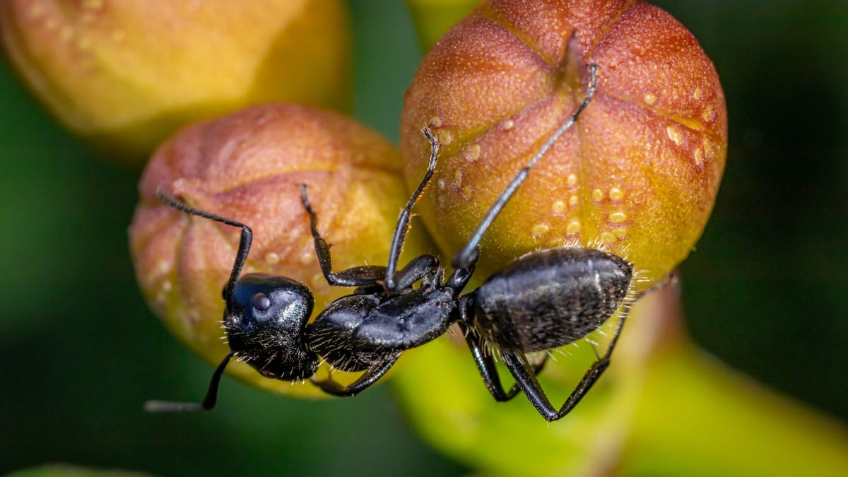 A carpenter ant on a piece of fruit.