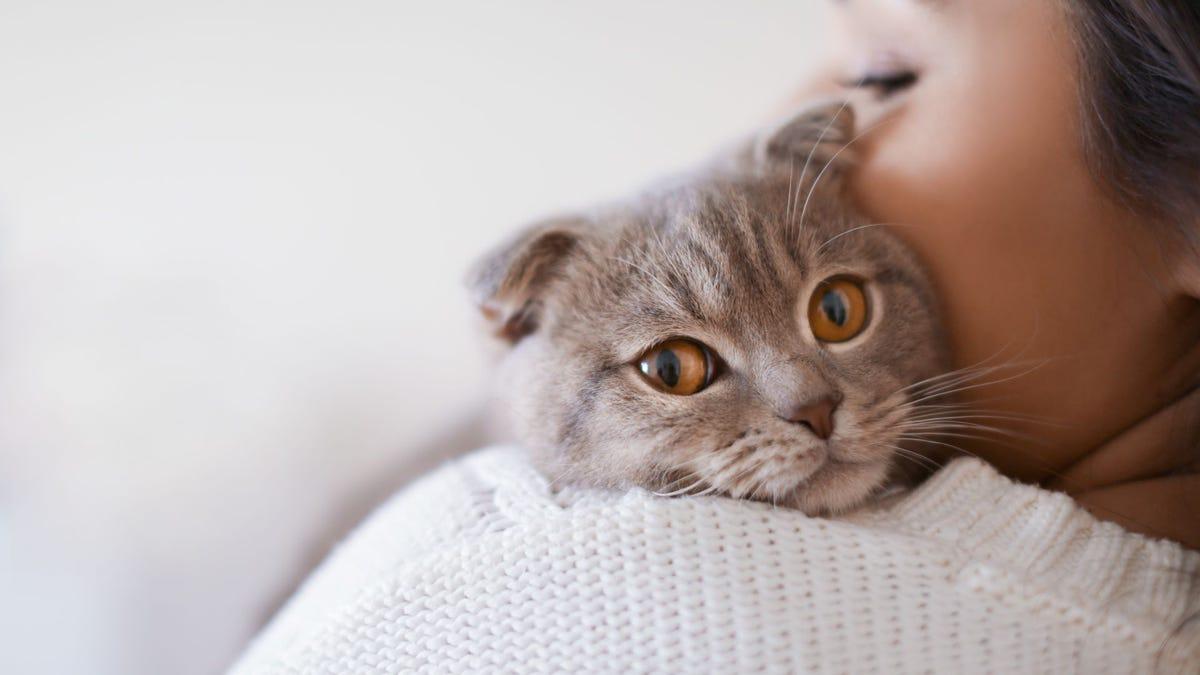 A woman hugging a gray Scottish Fold cat.