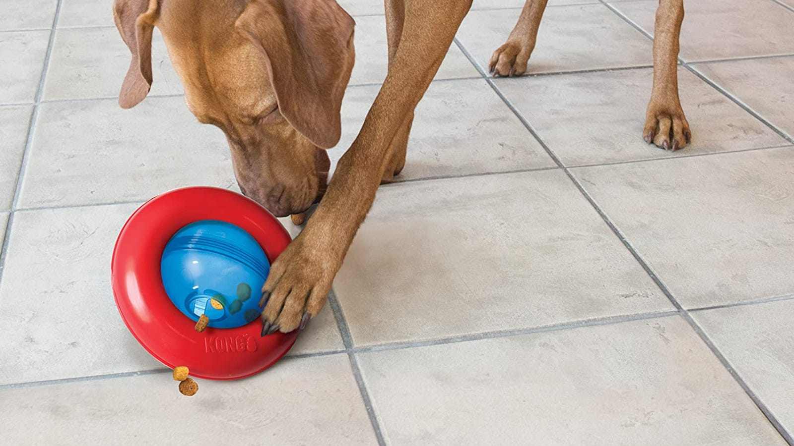 A brown dog playing with a blue and red toy that dispenses treats.