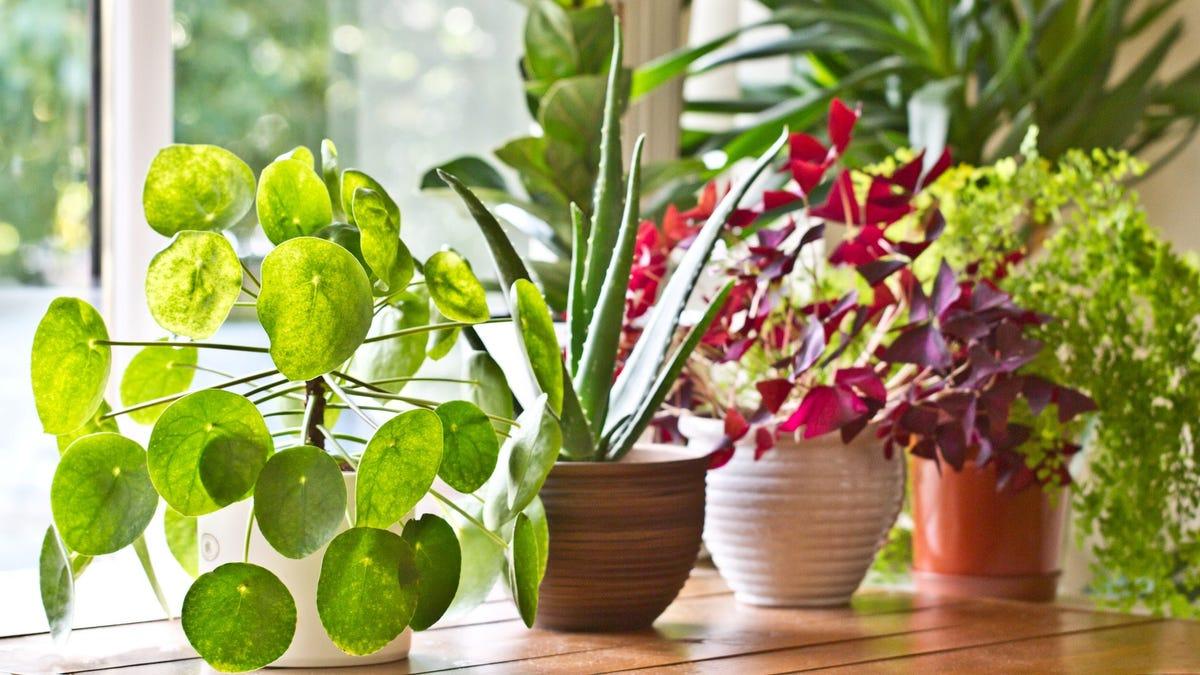 Houseplants on a windowsill.
