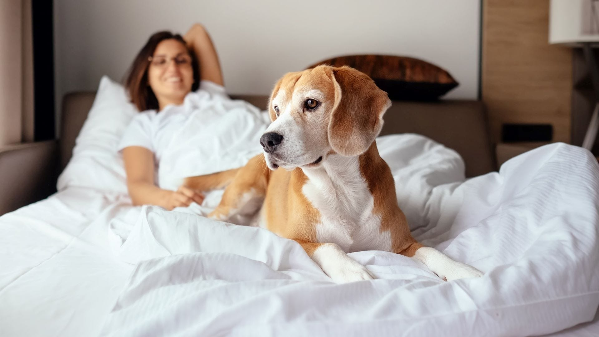 A woman in bed with a Beagle dog in a hotel room.