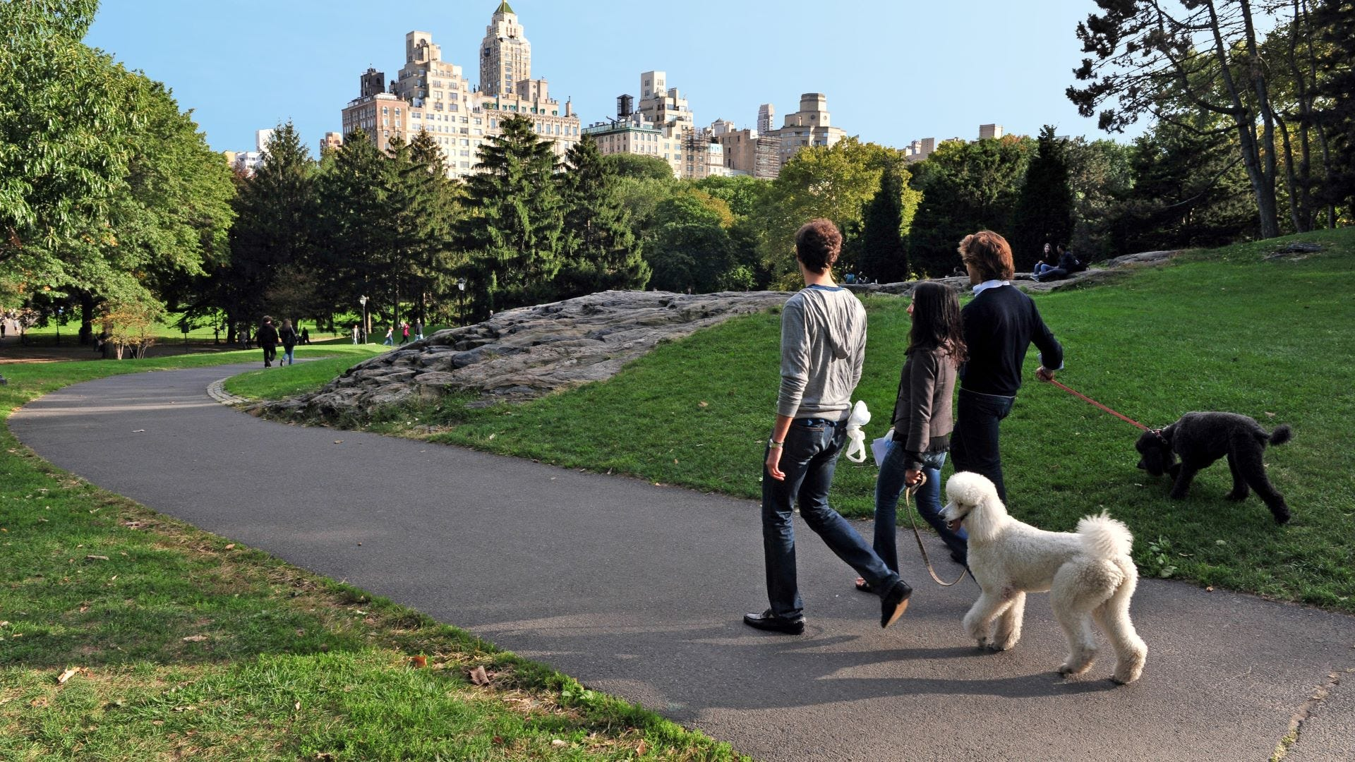 Three people walking with two standard poodles in Central Park.