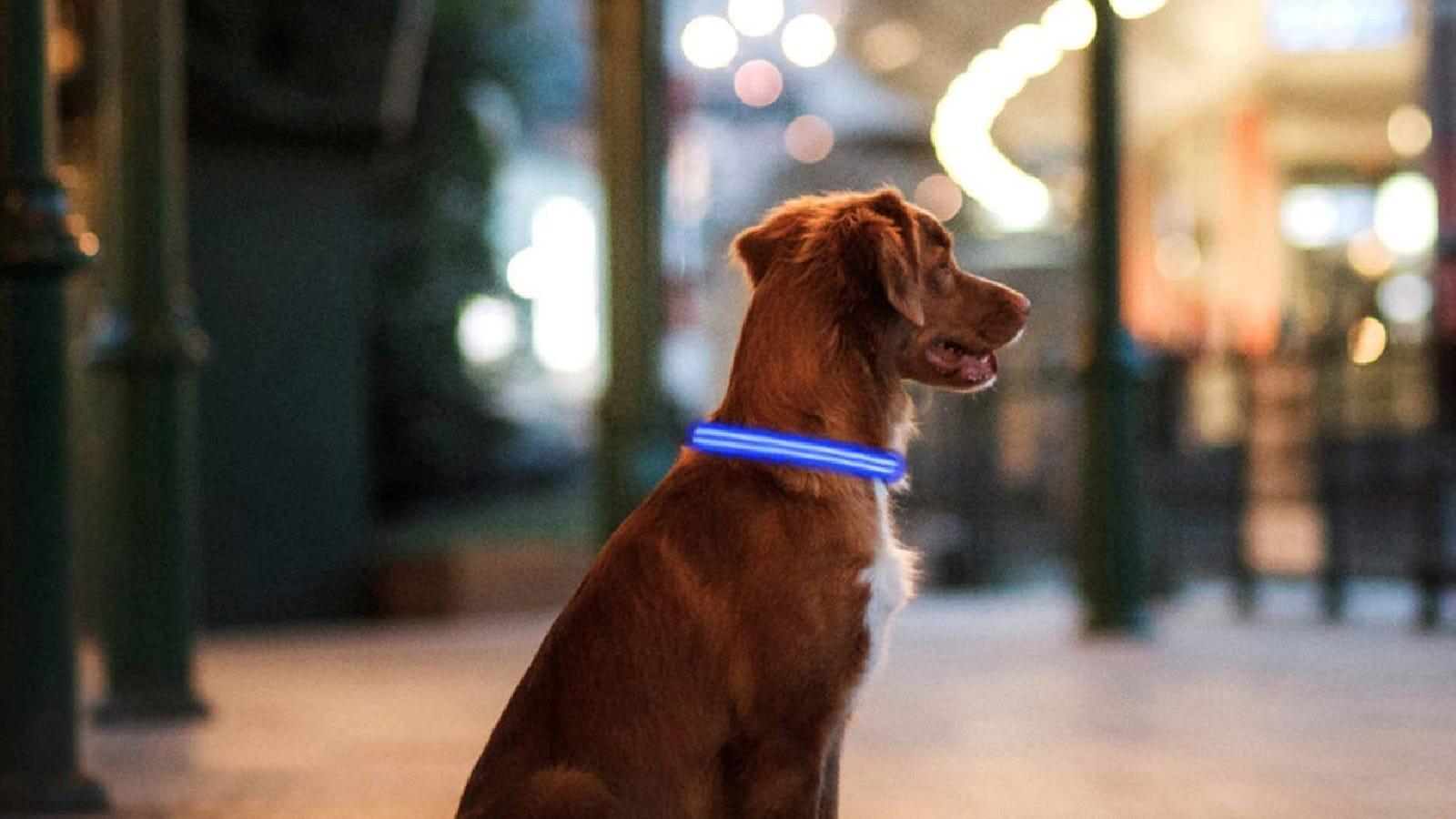A dog wearing a PPWW light up dog collar.
