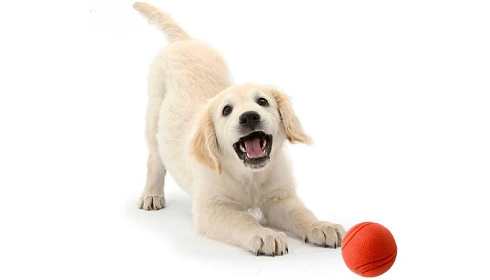 Cute dog playing with red ball