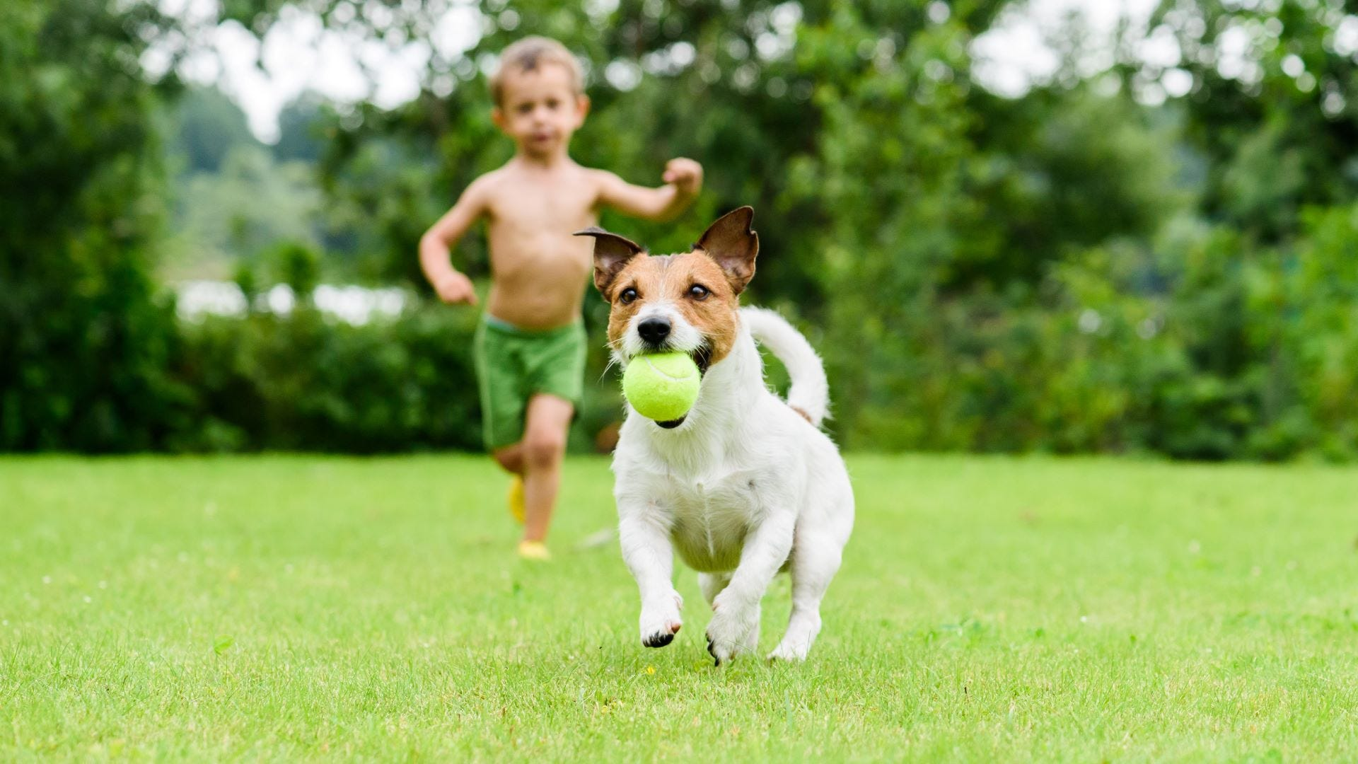 A dog with a ball in its mouth running away from a little boy.