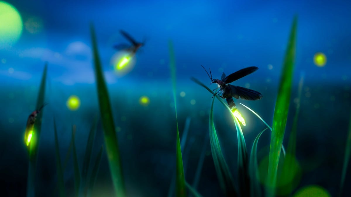 A firefly on a blade of grass at night.