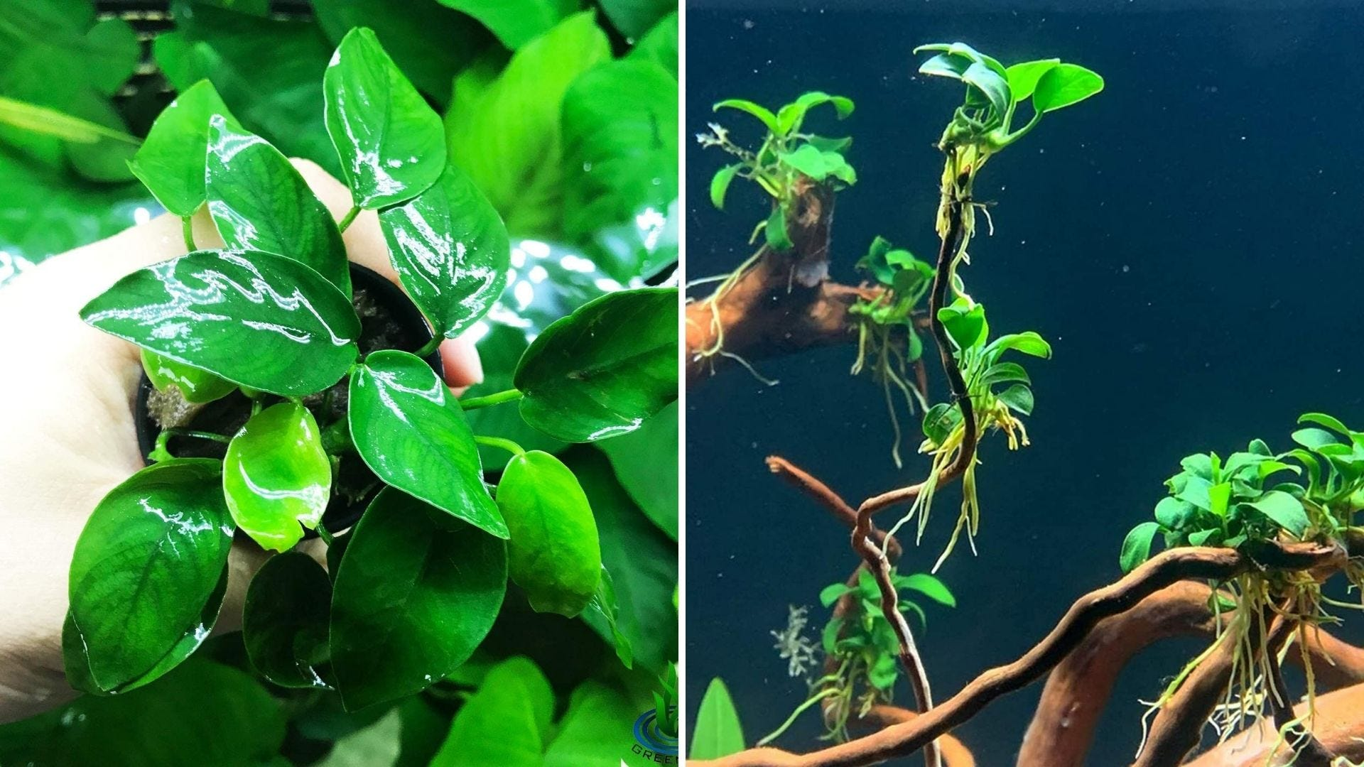 A man holds a green plant and a green plant underwater