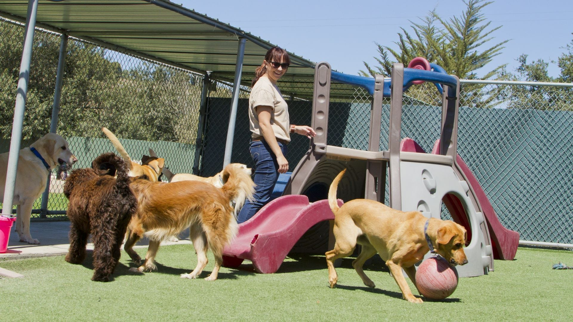 A woman supervising a group of dogs playing at a kennel.
