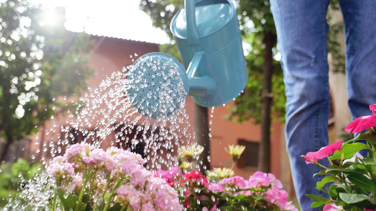 A woman in her garden watering flowers with a blue watering can.