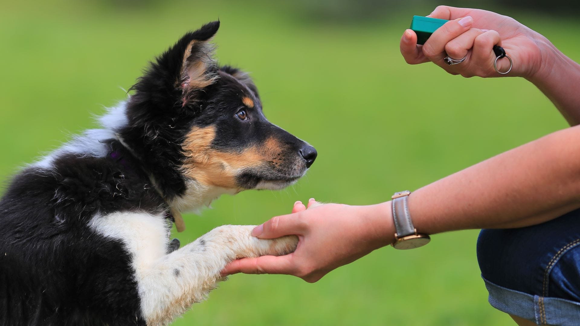 Someone shaking hands with a Border Collie pup and using a dog training clicker.