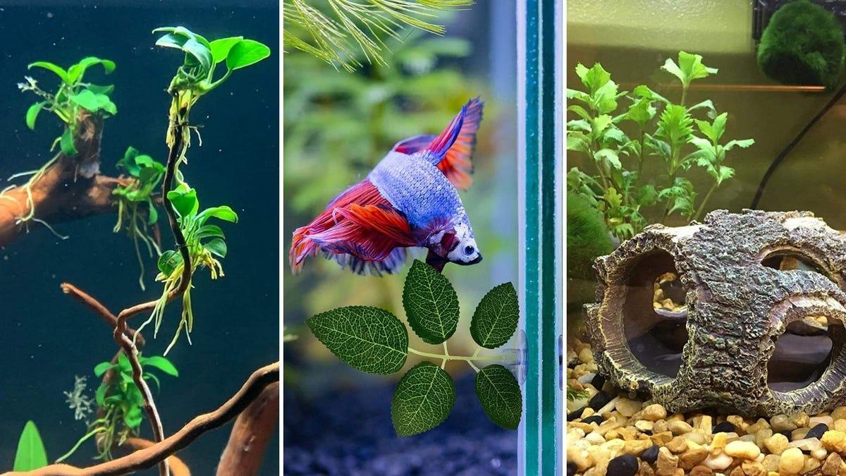 A green plant in an aquarium, a betta fish swims in a tank, and a log in a fish tank