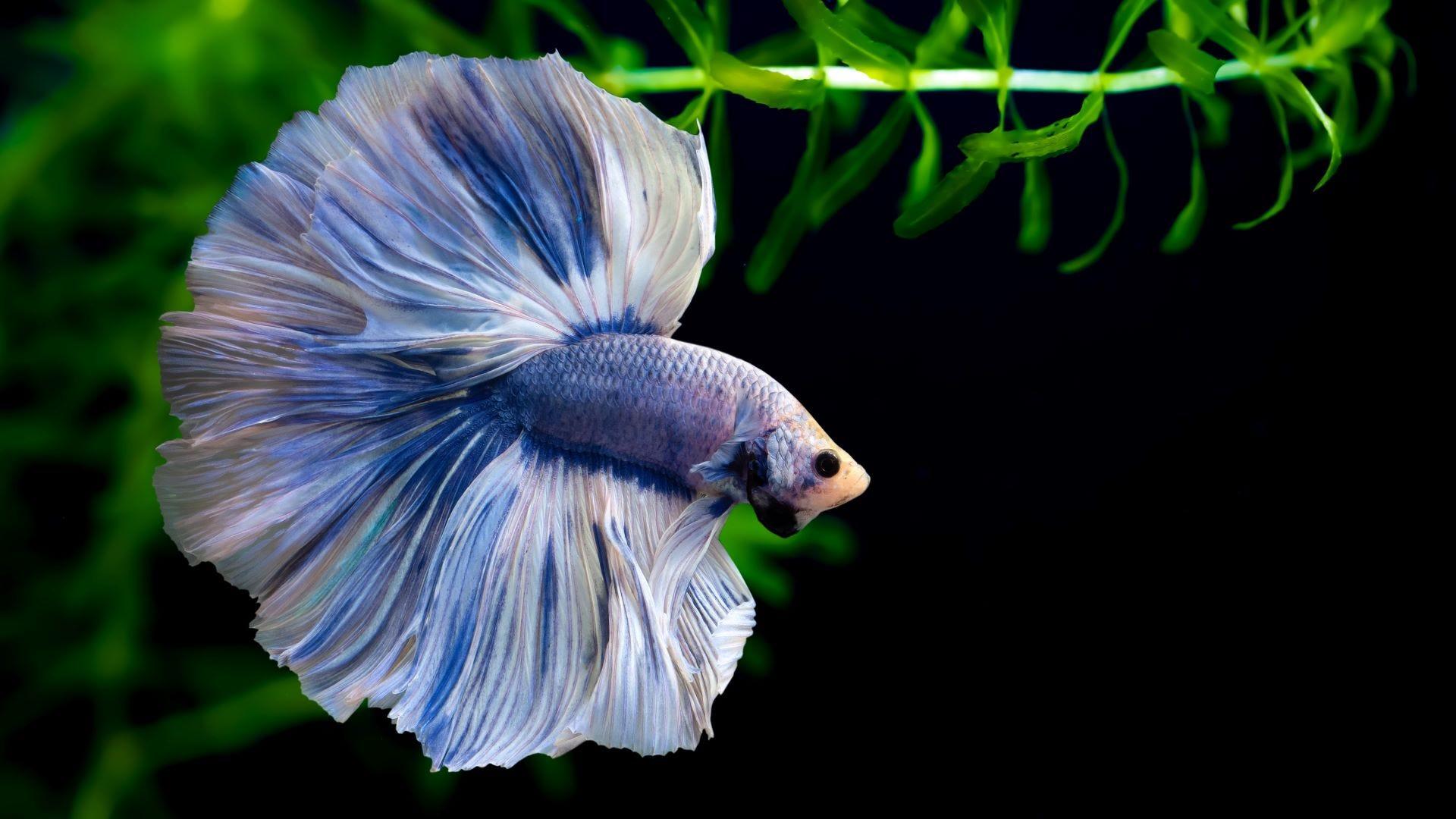 A blue half-moon betta fish.