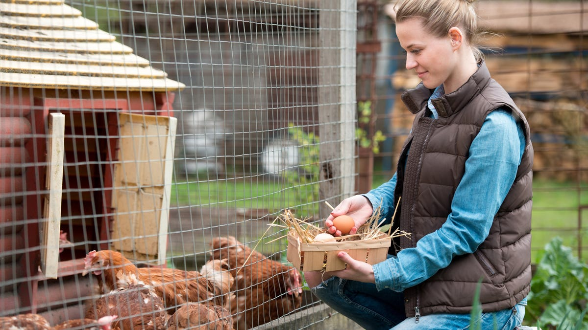 A woman gathering fresh eggs into basket next to a chicken coop.