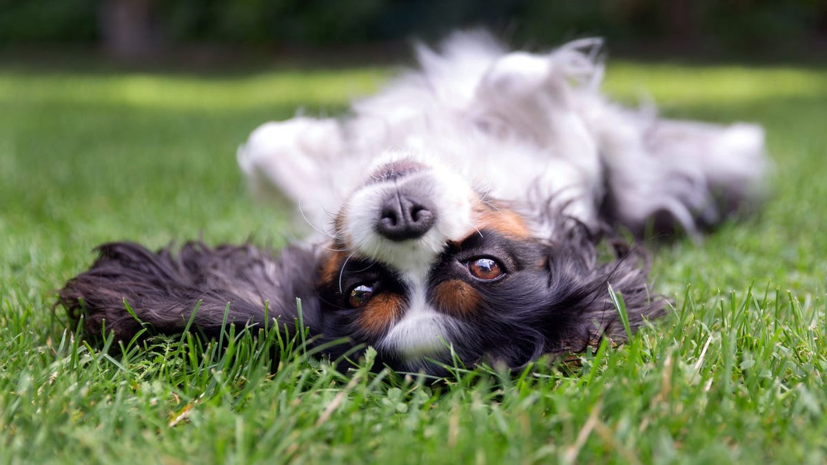 A Cavalier King Charles Spaniel lying on its back in the grass.